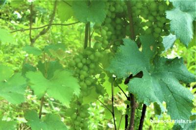 Виноград, растущиий в Алазанской долине (Кахетия)