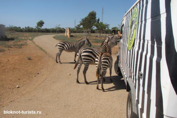 кормим зебр на зоо-сафари в Порто-Кристо (Майорка)