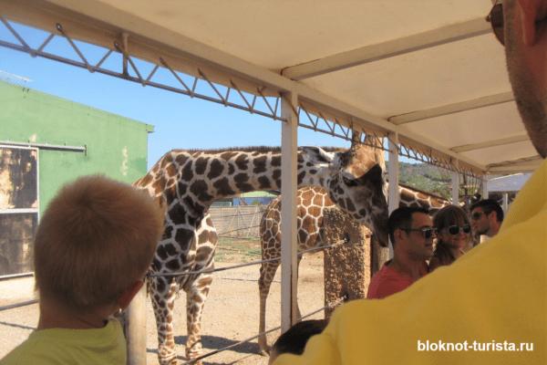 Жираф заглядывает в вагончик (зоо-сафари на Майорке)
