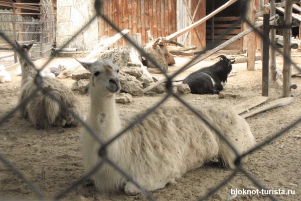 Лама в зоопарке Варны (Болгария)